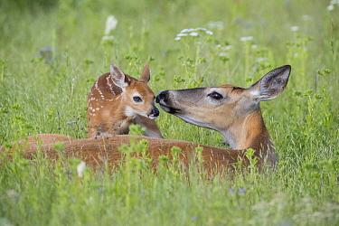 White-tailed Deer (Odocoileus virginianus) doe smelling newborn fawn, Montana