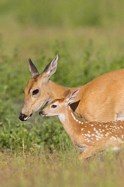 White-tailed Deer (Odocoileus virginianus) doe and fawn, North America