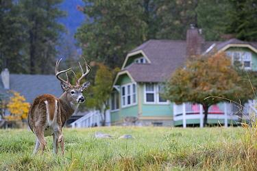 White-tailed Deer (Odocoileus virginianus) buck near houses, Montana