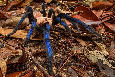 Tarantula (Birupes simoroxigorum) female, new species, Mount Santubong, Sarawak, Borneo, Malaysia