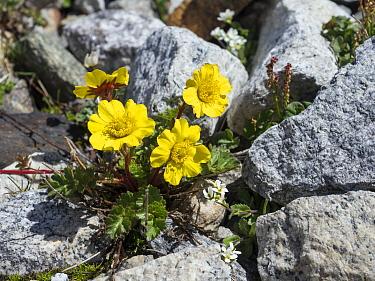 Creeping Avens (Geum reptans) flowers, Zillertal, Alps, Tyrol, Austria