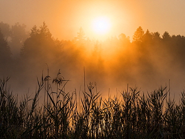Reeds at sunrise, Upper Bavaria, Germany
