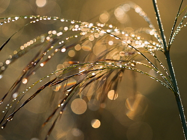Reed with dew, Bavaria, Germany