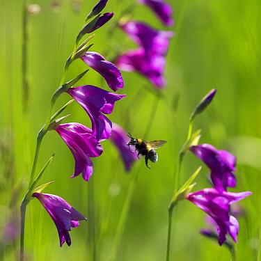 Bumblebee (Bombus sp) approaching Gladiolus (Gladiolus palustris) flowers, Upper Bavaria, Germany