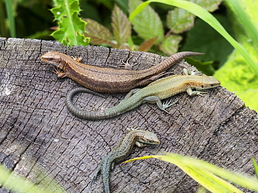 Common Wall Lizard (Podarcis muralis) trio, Upper Bavaria, Germany