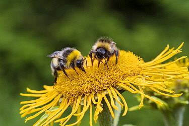Bumblebee (Bombus sp) pair on Marguerite (Leucanthemum vulgare) flower, Bavaria, Germany