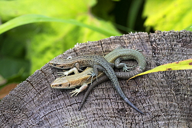Common Wall Lizard (Podarcis muralis) pair, Upper Bavaria, Germany