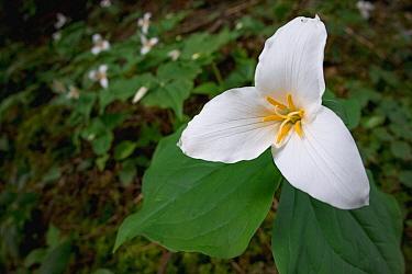 Pacific Trillium (Trillium ovatum) flower, Big Creek Park, Newport, Oregon