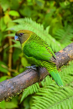 Brehm's Tiger-Parrot (Psittacella brehmii), Kumul Lodge, Papua New Guinea