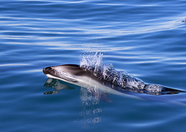 Pacific White-sided Dolphin (Lagenorhynchus obliquidens) surfacing, Mission Beach, San Diego, California