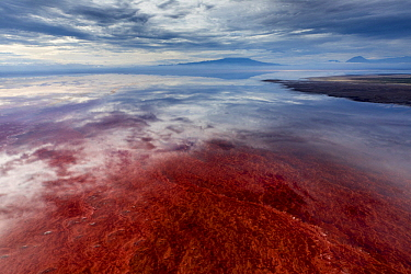 Red algae and salt formations, Lake Natron, Ol Doinyo Lengai, Tanzania