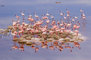Lesser Flamingo (Phoenicopterus minor) flock nesting on island, Lake Natron, Tanzania