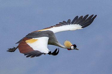 Grey Crowned Crane (Balearica regulorum) flying, Ngorongoro Conservation Area, Tanzania