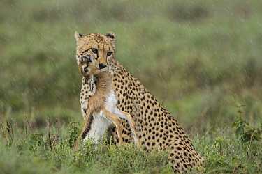 Cheetah (Acinonyx jubatus) with Thomson's Gazelle (Eudorcas thomsoniI) young prey during rainfall, Ngorongoro Conservation Area, Tanzania