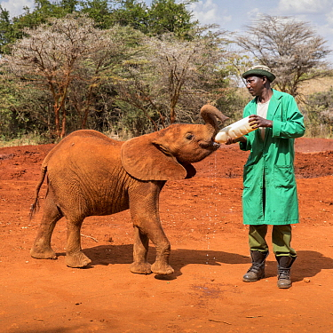 African Elephant (Loxodonta africana) orphaned calf bottle feeding, David Sheldrick Wildlife Trust, Nairobi, Kenya