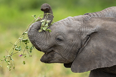 African Elephant (Loxodonta africana) calf feeding, Ngorongoro Conservation Area, Tanzania