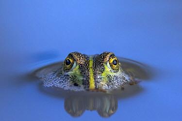 African Bullfrog (Pyxicephalus adspersus) sub-adult in waterhole, Nxai Pan National Park, Botswana