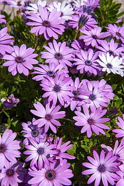 Cape Daisy (Osteospermum sp), akila lavender variety, flowering in garden in spring, Normandy, France