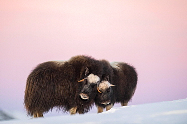 Muskox (Ovibos moschatus) mother and calf nuzzling, Dovre-Sunndalsfjella National Park, Norway