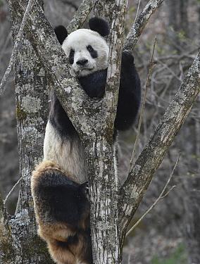 Giant Panda (Ailuropoda melanoleuca) in tree, Foping, Shanxi, China