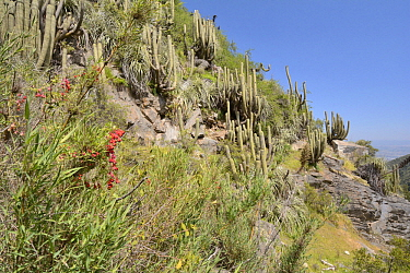 Chilean Nasturtium (Tropaeolum tricolor) flowering, La Campana National Park, Chile