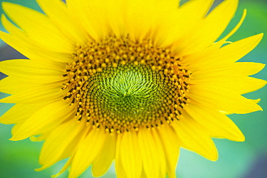 Common Sunflower (Helianthus annuus) flower, Burgos, Castile-Leon, Spain