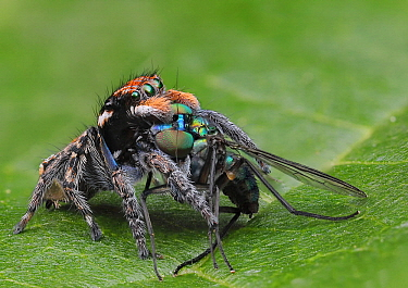 Peacock Spider (Maratus plumosus) male feeding on fly pry, New South Wales, Australia