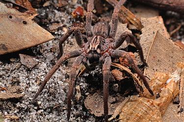 Spider (Mituliodon tarantulinus), Australia
