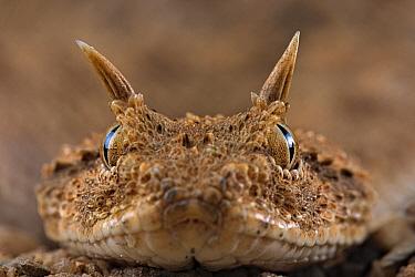 Horned Viper (Cerastes cerastes), Egypt