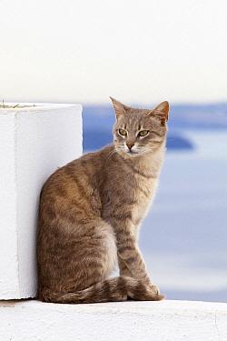Domestic Cat (Felis catus), Santorini, Greece