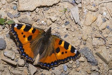 Small Tortoiseshell (Aglais urticae) butterfly, Alps, France