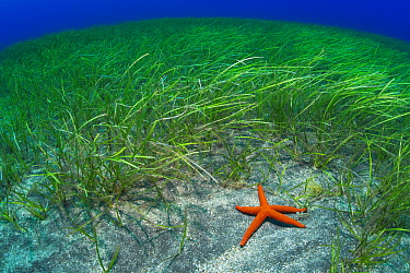 Red Starfish (Echinaster sepositus) in seagrass, Tenerife, Canary Islands