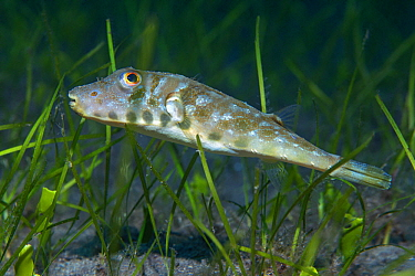 Guinean Puffer (Sphoeroides marmoratus) and seagrass, Tenerife, Canary Islands