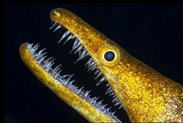 Fangtooth Moray (Enchelycore anatina), Tenerife, Canary Islands