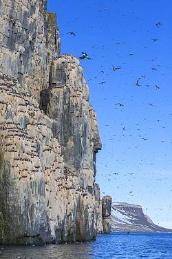Brunnich's Guillemot (Uria lomvia) colony, Spitsbergen, Svalbard, Norway
