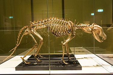 Tasmanian Tiger (Thylacinus cynocephalus) skeleton, Hobart Museum, Tasmania, Australia