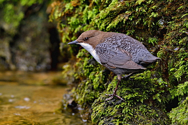 White-throated Dipper (Cinclus cinclus), Creuse Valley, Doubs, France