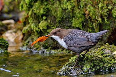 White-throated Dipper (Cinclus cinclus) carrying leaf, Creuse Valley, Doubs, France