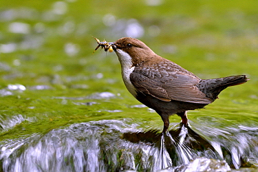 White-throated Dipper (Cinclus cinclus) with insect prey, Creuse Valley, Doubs, France