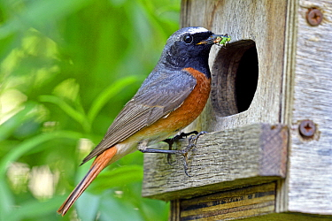 Black Redstart (Phoenicurus ochruros) male with insect prey at nest box, France