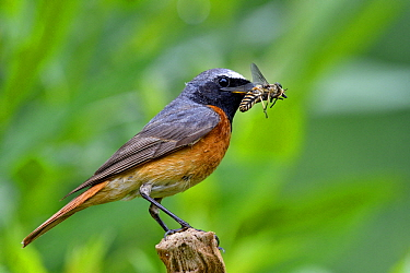 Black Redstart (Phoenicurus ochruros) male with insect prey, France