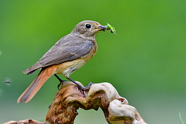 Black Redstart (Phoenicurus ochruros) female with insect prey, France