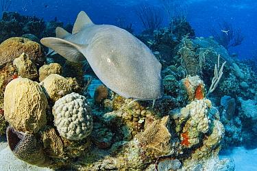 Short-tail Nurse Shark (Ginglymostoma cirratum), Chinchorro Banks, Quintana Roo, Mexico