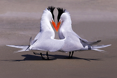 Royal Tern (Thalasseus maximus) pair courting, Magdalena Bay, Baja California, Mexico