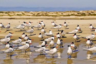 Royal Tern (Thalasseus maximus) flock, Magdalena Bay, Baja California, Mexico