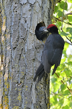 Black Woodpecker (Dryocopus martius) parent feeding chick at nest cavity, Danube Delta, Romania