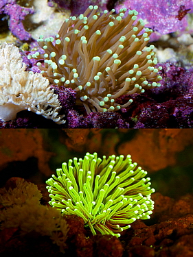 Large-polyped Stony Coral (Euphyllia paraglabrescens), photographed with visible light and under UV light, Portugal
