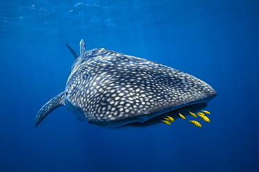 Whale Shark (Rhincodon typus) and Golden Trevally (Gnathanodon speciosus) group, Nosy Be, Madagascar