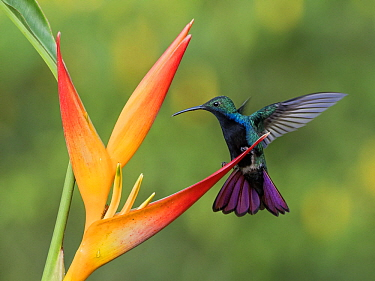 Black-throated Mango (Anthracothorax nigricollis) hummingbird feeding on flower nectar, Cauca Valley, Colombia