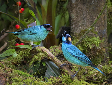 Golden-naped Tanager (Tangara ruficervix) pair squabbling, Cauca Valley, Colombia